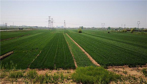 董白村口高架桥上俯瞰麦地。摄影/崔梁凡